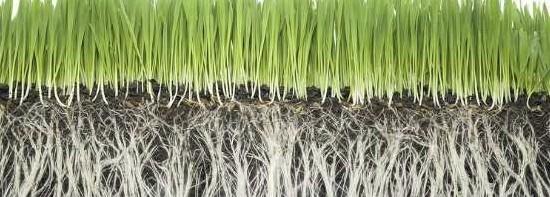 zichtbare lange en gezonde wortels onder een mooi groen gazon die door goed grasmaaien tot stand komen
